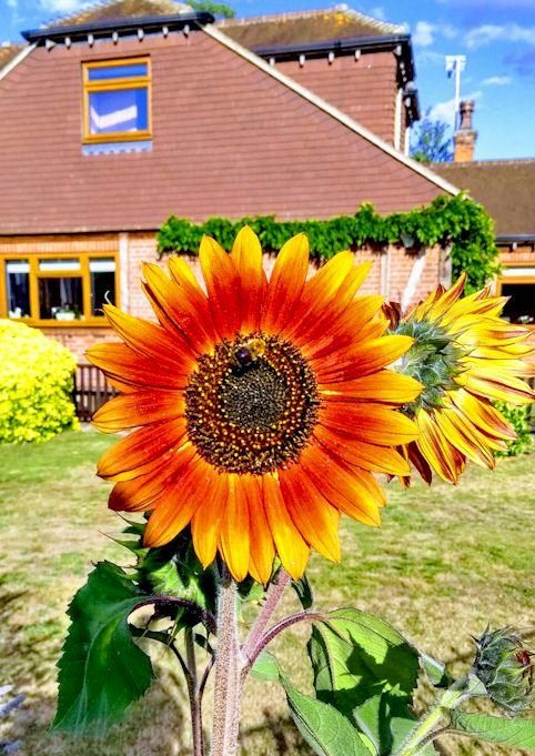 sunflower with bee in Staines 2019